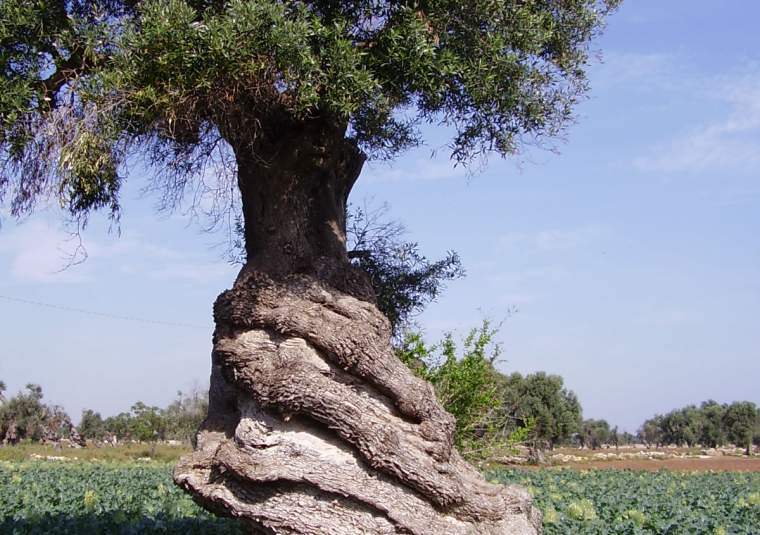 Olive tree twisted trunk