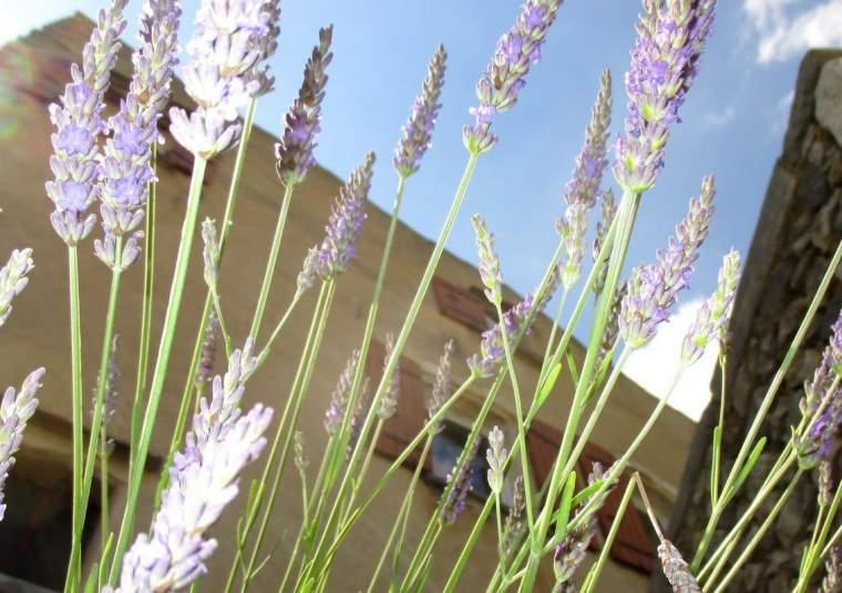 Lavender x webpage