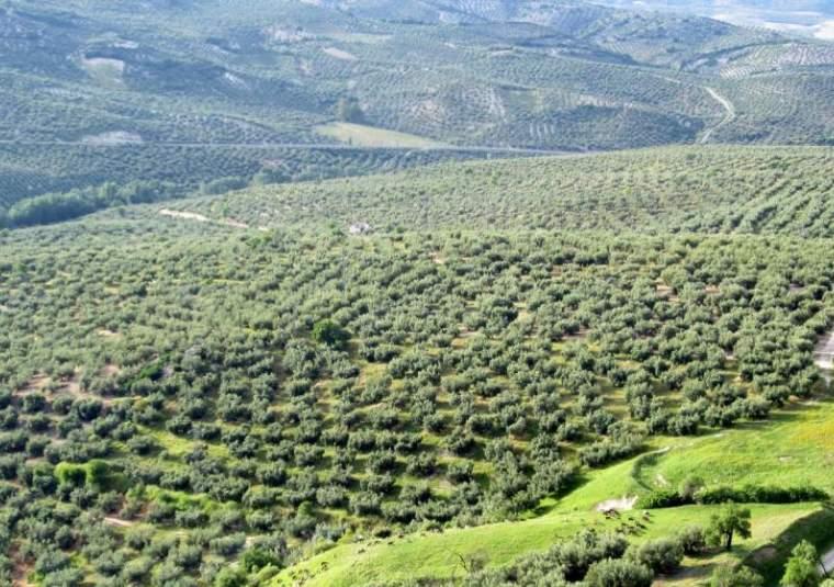 Vast olive grove
